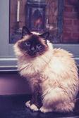 Gatto sacro di Birmania seduto da porta — Foto Stock
