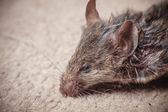 Dode muis — Stockfoto