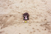 Dog with tennis ball on beach — Stock Photo