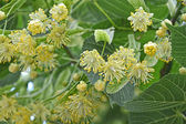 Linden tree flowers — Stock Photo
