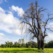 Dead tree in the grass on blue sky background — Stock fotografie