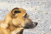 Brown dog looking , Thai dog sadly — Stock Photo
