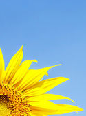 Sunflower on a background of blue sky — Stock Photo