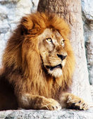Lion in the zoo , looking , Staring — Stok fotoğraf