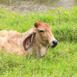 Cow relaxing on grass Near the river — Stock Photo