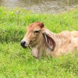 Stock Photo: Cow relaxing on grass Near river