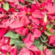 Red christmas flower , Red Poinsettias with green leaves — Stock Photo