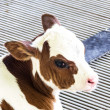 Calf , Brown and white calf in fram, pretty. — Stock Photo