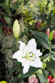 Beautiful white lily, on green background — Stock Photo