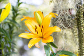 Beautiful orange lily in garden — Stock Photo
