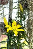 Beautiful yellow lily in garden — Stock Photo