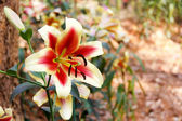 Beautiful lily in the garden. — Stock Photo