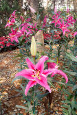 Pink lily in the garden — Stock Photo