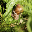 Snail in the grass — Stock Photo