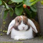 holandés mini-lop conejo en el jardín — Foto de Stock   #25207565