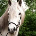 Retrato de un caballo islandés — Foto de Stock