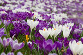 Field with crocuses — Stock Photo