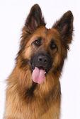 Portrait of a long hair German shepherd — Stock Photo