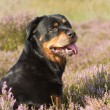 Rottweiler in heathland — Stock Photo #32131399