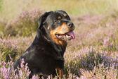 Rottweiler in heathland — Stock Photo