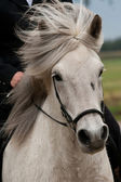 Close-up of an Icelandic horse in action — Stock Photo
