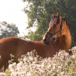 Beautiful KWPN horse — Stock Photo
