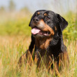 Rottweiler in the grass — Stock Photo #41030651