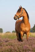 KWPN horse on heather — Stock Photo