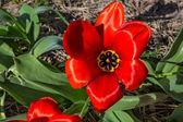 Tulipa vermelha totalmente aberta para o sol — Fotografia Stock