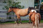Three hoarses on the hoarse-farm — Stock Photo