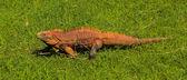Iguana walking on the grass — Stock Photo