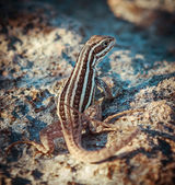 Small reptile siting on the ground — Stock Photo