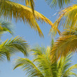 Amaizing beautiful natural tropical background of  fluffy palm leafs against blue sky — Stock Photo #46984833