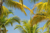 Amaizing beautiful natural tropical background of  fluffy palm leafs against blue sky — Стоковое фото