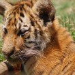 Tiger Cub — Stock Photo #25186479