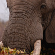 Elephant in Kruger National Park — Stock Photo
