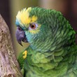 The Amazon green parrot — Stock Photo