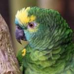 The Amazon green parrot — Stock Photo #25306749