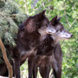 Stock Photo: Wolf (canis lupus)
