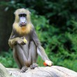 The Mandrill — Stock Photo