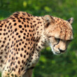 Cheetah, Acinonyx jubatus — Stock Photo #25728445