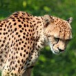 Stock Photo: Cheetah, Acinonyx jubatus