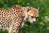 Cheetah, Acinonyx jubatus — Stock Photo