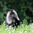 White-cheeked gibbon — Stock Photo