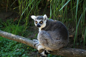 The Ring-tailed Lemur — Stock Photo