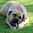Boerboel — Stock Photo #25867861