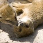 Yellow Mongoose — Stock Photo