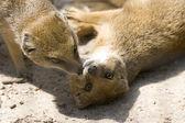 żółty mongoose — Zdjęcie stockowe