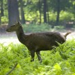 Photo: Roe-deer
