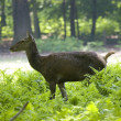 Roe-deer — Foto de Stock
